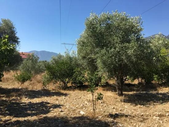 Land For Sale In Koycegiz Zeytinalani