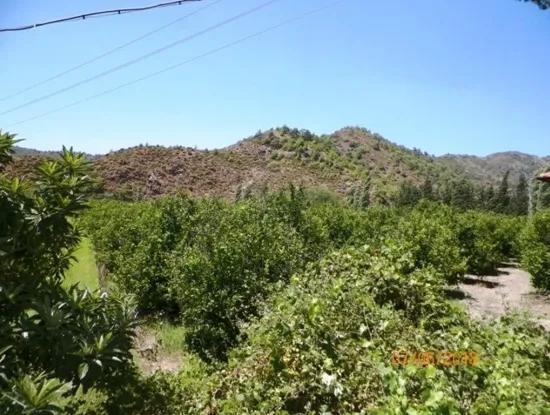 Muğla Dalaman Taşlıburunda 5 330 M2 Yerli Limon Bahçesi Satılık