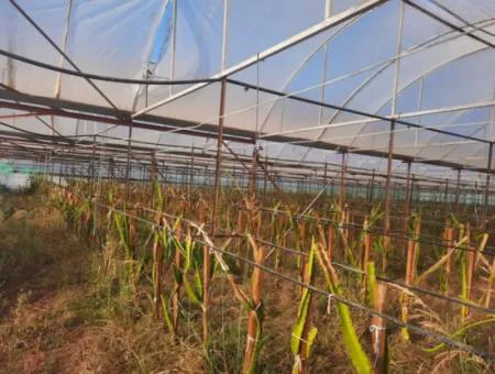 Muğla Ortacada 4123 M2 Tarla Ve Pitaya Meyvesi Serası Satılık